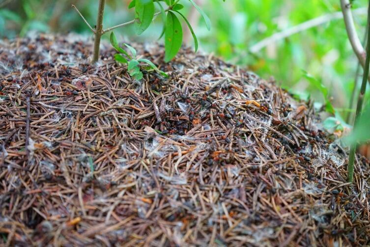 Можно перенести муравейник на новое место