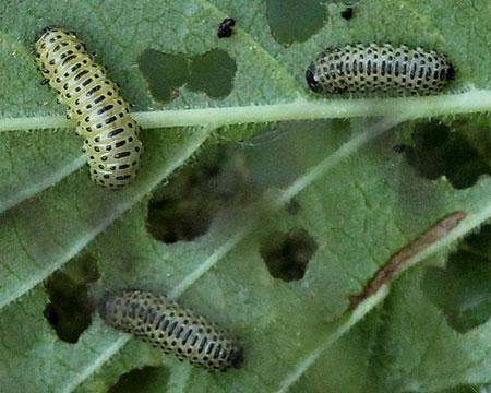 Личинки калинового жука