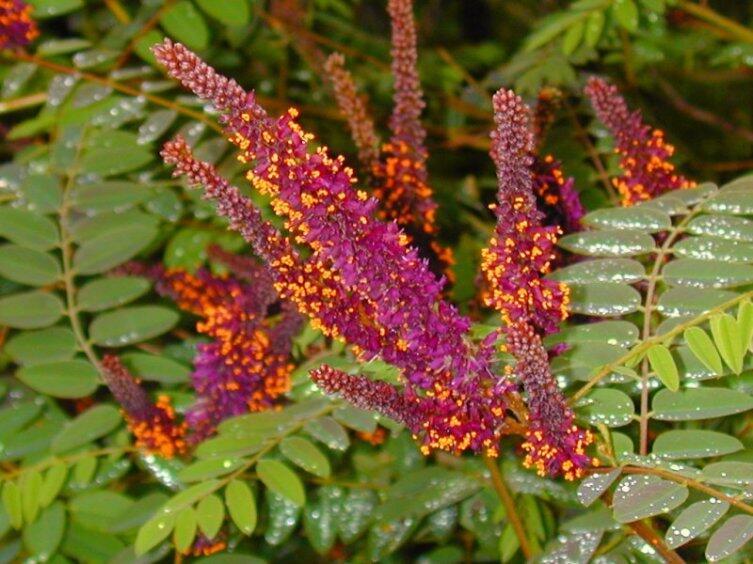 Нежная красавица - аморфа. Чем она привлекательна для садоводов?