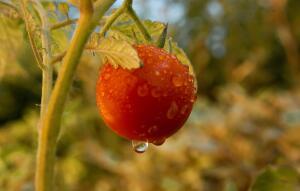 Как поливать овощные культуры?