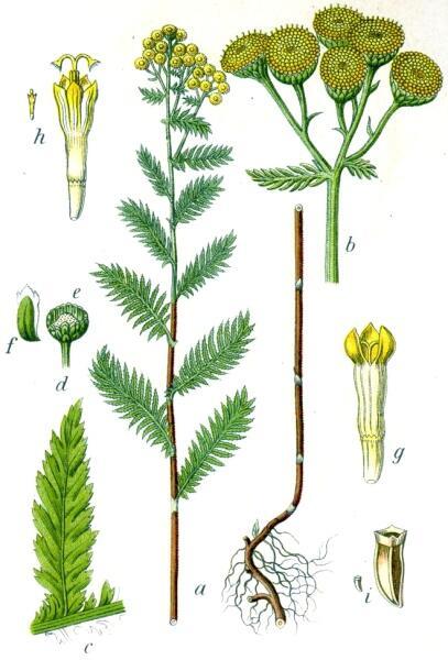 Пижма обыкновенная — типовой вид рода Пижма. Ботаническая иллюстрация Якоба Штурма из книги «Deutschlands Flora in Abbildungen», 1796 г.