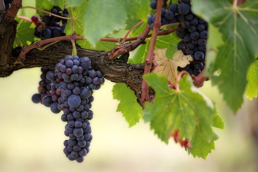 Как спасти виноград во время похолодания?