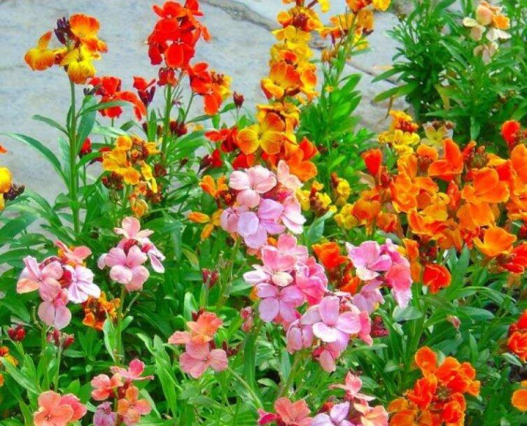 Лакфиоль - сердце парфюмерных композиций. Как ее вырастить в своем саду?