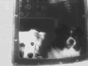 Собаки Дезик и Цыган, первые млекопитающие вернувшиеся на Землю живыми после преодоления линии Кармана