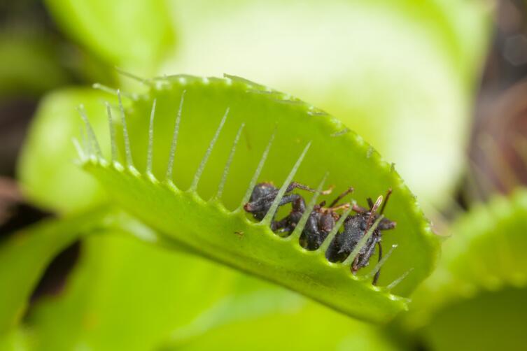 Как выращивать хищный цветок в доме? Венерина мухоловка