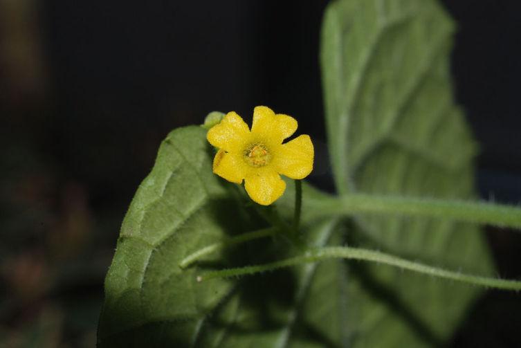 Цветок мелотрии