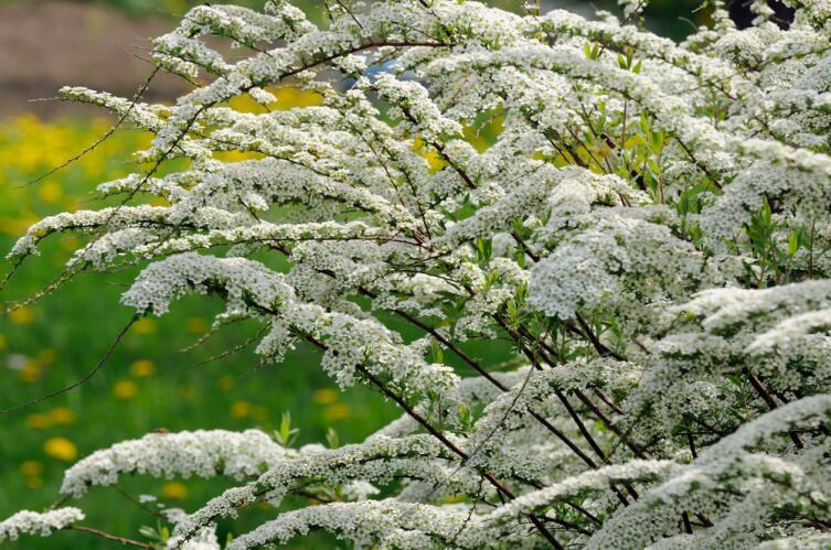 Былинное растение таволга. Как её вырастить в саду?