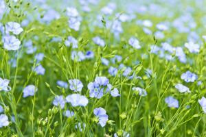 Как вырастить лён в саду?