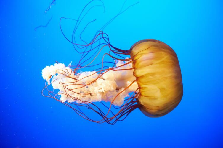 Chrysaora fuscescens - морская крапива
