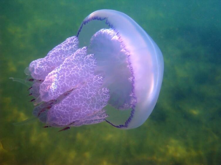 Медузами лучше любоваться на картинках