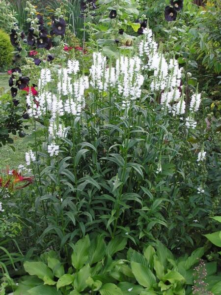 Физостегия — вольная красавица. Не пригласить ли её в сад?