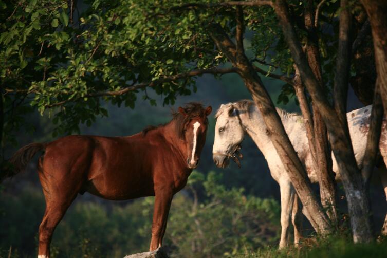 Лошади Татева