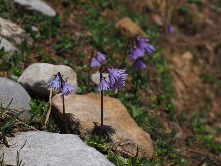 Горный первоцвет — сольданелла. Как вырастить ее в своем саду?