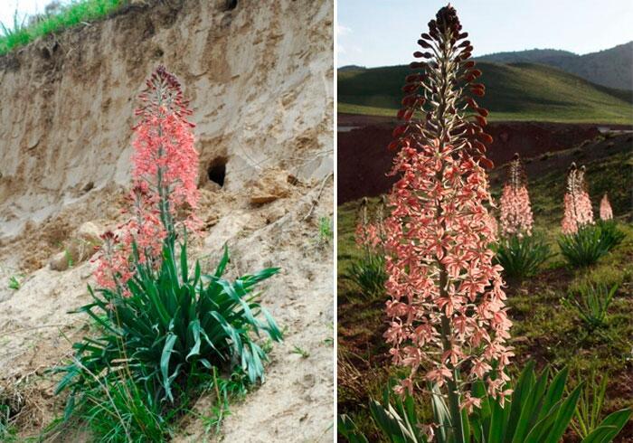 Как выращивать в саду эремурусы - хвосты пустыни?