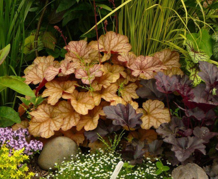 Гейхеры: как вырастить в саду самоцветы?