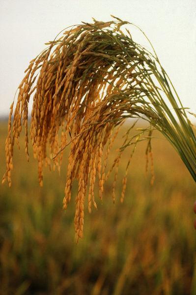 Колосья риса