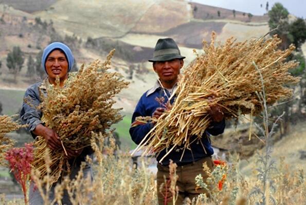Сбор урожая киноа, Эквадор