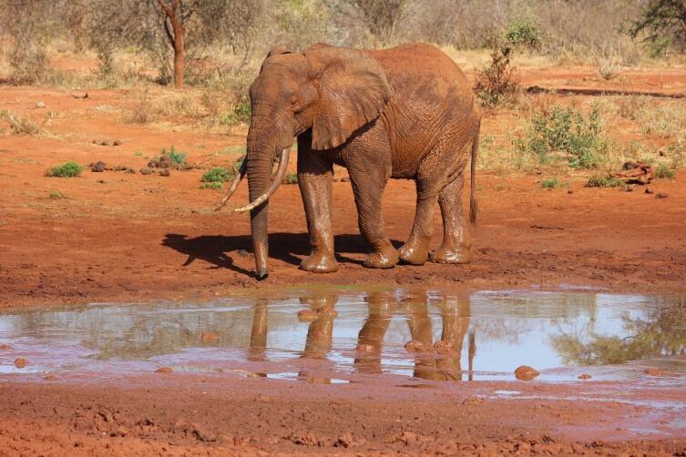 Бывают ли красные слоны?