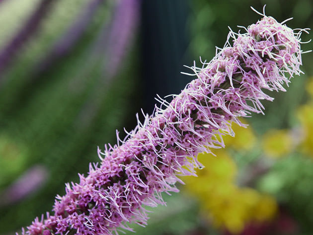 Лиатрис — разноцветные свечи в саду. Как их вырастить?