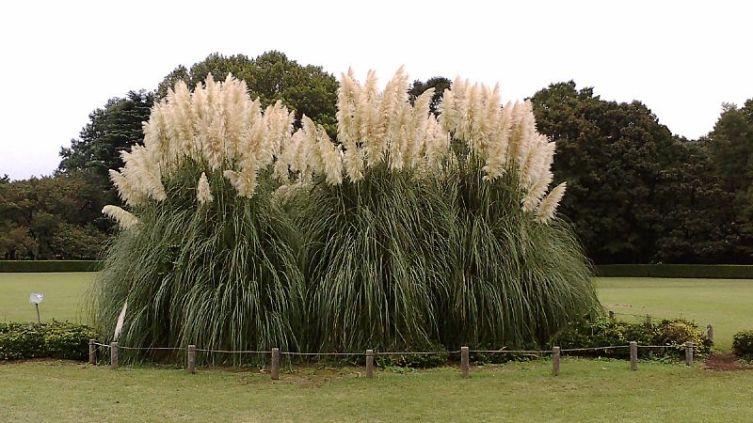Большой «куст» пампасной травы в ботаническом саду Джиндаи Garden, Токио, Япония) высотой 4 м и диаметром 7 м возрастом более 40 лет, 2007 г.