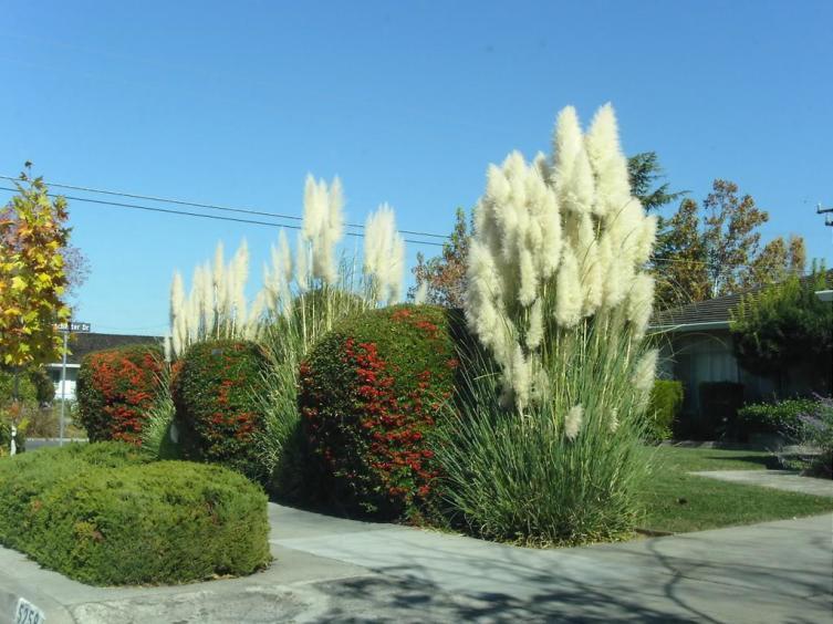 Пампасная трава. Чем она интересна?