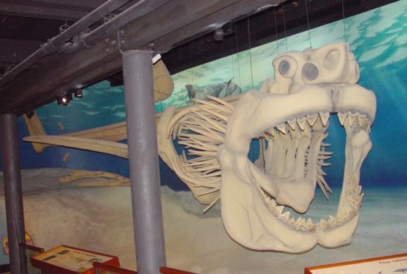 Реконструированный скелет мегалодона, выставленный в Calvert Marine Museum