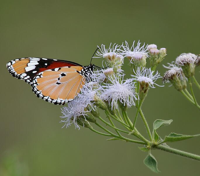 Eupatorium odoratum и бабочка Danaus chrysippus