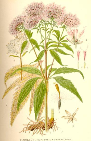 Посконник коноплёвый (Eupatorium cannabinum)