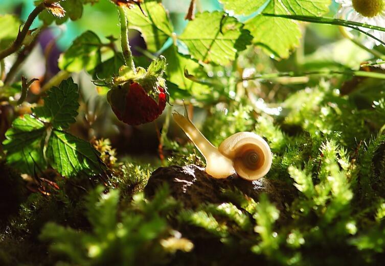 Листья клубники содержат природные антибиотики