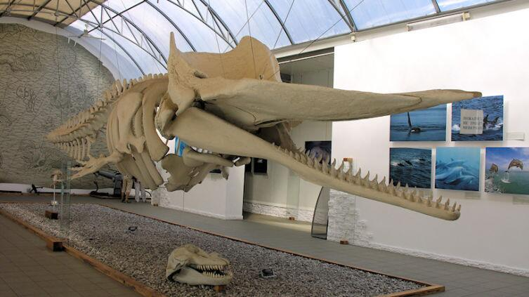 Скелет «балтийского» кашалота в музее Мирового океана, Калининград