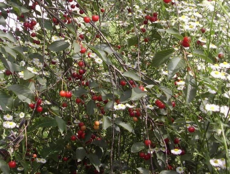 Зреют вишни