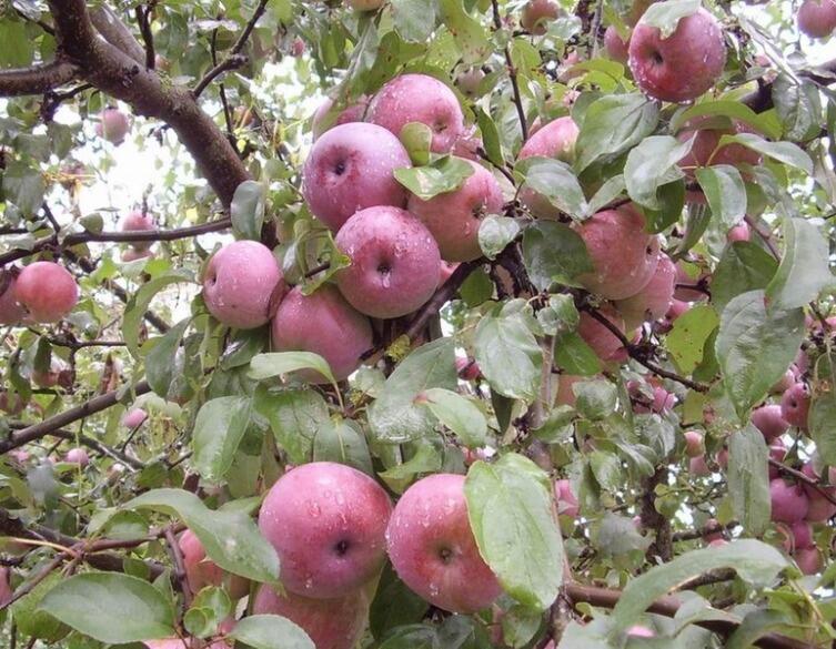 Наливаются яблоки