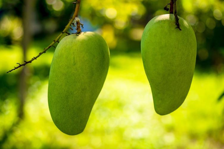 Зреют манго