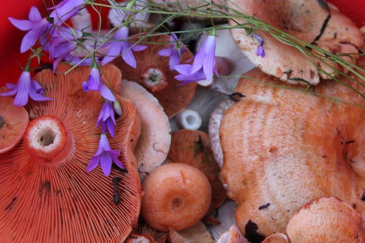 Пластинчатые грибы хороши для засолки