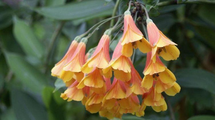 Бомарея (Bomarea multiflora)