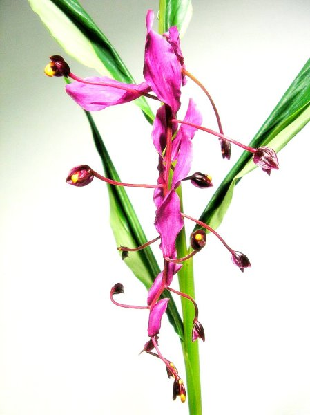 Цветущая глобба (Globba)