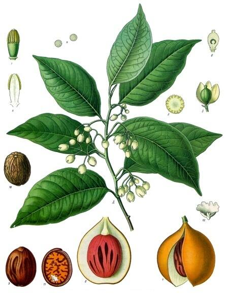 Мускатник душистый (Myristica fragrans). Ботаническая иллюстрация из книги Köhler's Medizinal-Pflanzen, 1887 г.