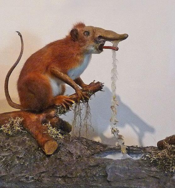 Фиктивное чучело одного из представителей отряда Ринограденции из зоологического музея Страсбурга