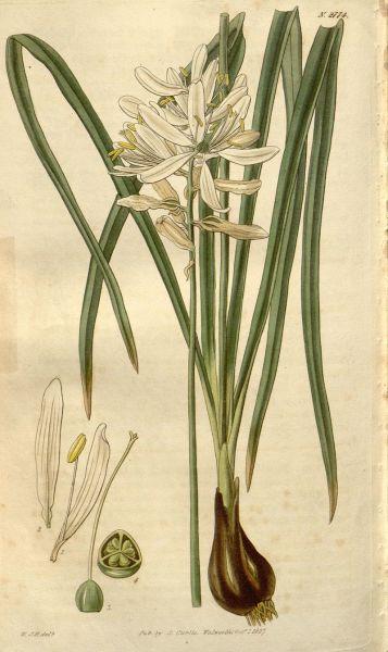 Ботаническая иллюстрация из журнала Curtis's botanical magazine, vol. 54 [new ser.:v.1] (1827)