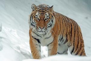Амурский тигр - хозяин тайги