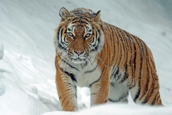 Амурский тигр: какие опасности ему угрожают?