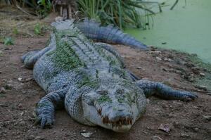 Водились ли на Руси крокодилы?