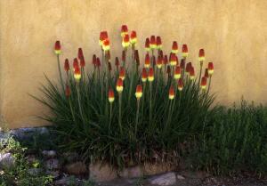 Книпхофия - факельная лилия. Какие тайны она хранит?