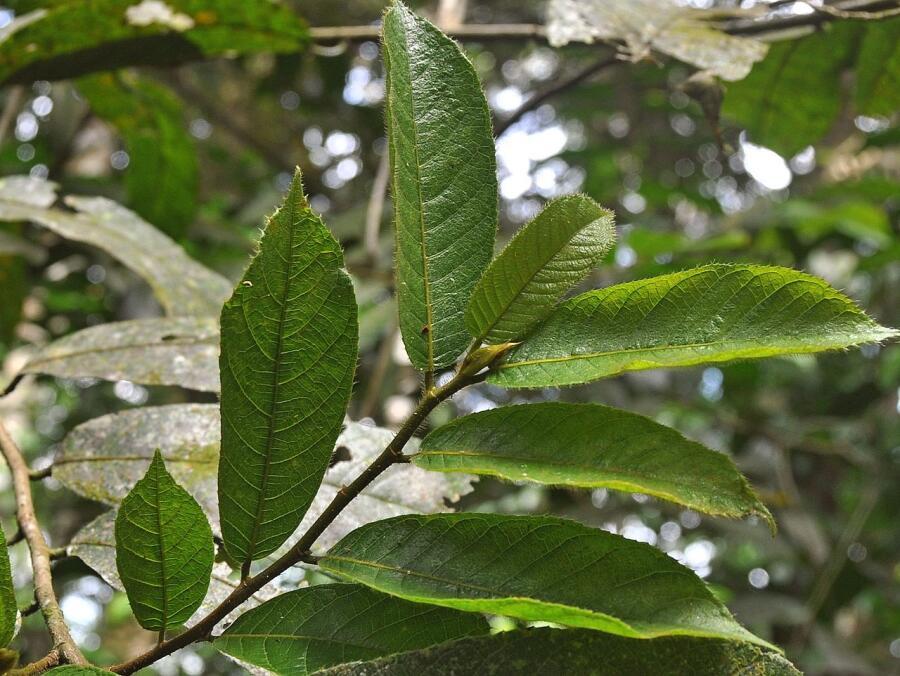 Литья Анчара (Antiaris toxicaria)