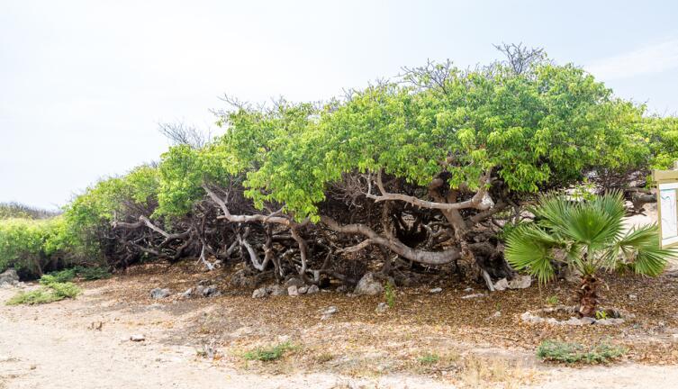 Ряд  Манцинелловых деревьев