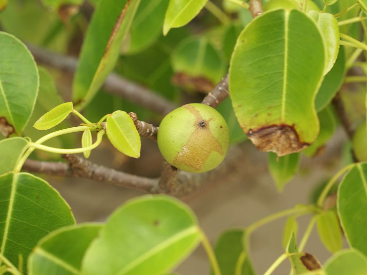 Листья и плод Манцинеллового дерева