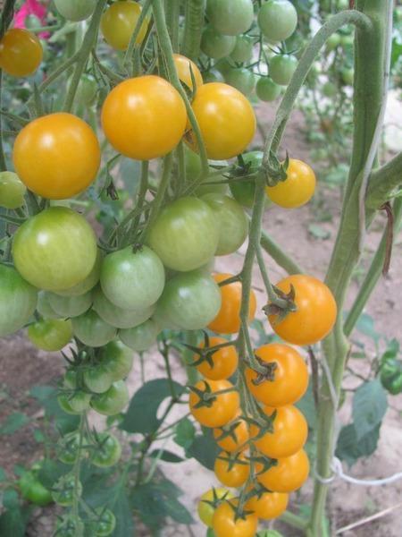 Сладкие помидоры-черри украсят любое блюдо
