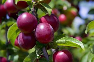 Благодаря содержанию в сливах пектина и пектиноподобных веществ, эти плоды, особенно недозрелые, являются отличным желирующим средством.