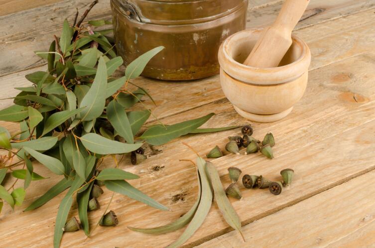 Плоды эвкалипта с семенами
