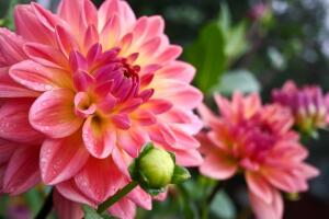 Сколько растений в семействе Астровых?